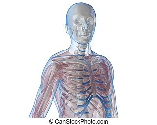human anatomy - 3d rendered illustration of a human skeletal...