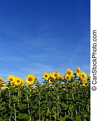 a field of sunflowers and a blue sky