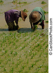 Twin womens working in ricefield , Myanmar