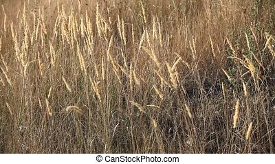 feather grass swaying in the wind