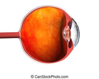 eye anatomy - 3d rendered anatomy illustration of eye cross...