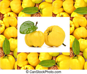 Ripe yellow quinces isolated on a white background Frame of...