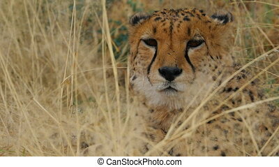 cheetah close up stalking - portrait of cheetah in the bush...