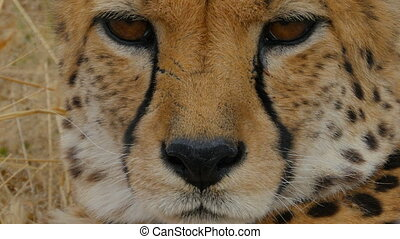 cheetah extreme close up - portrait of a wild cheetah...