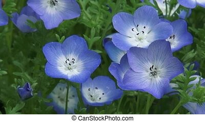 Baby blue eyes Nemophila menziesii in bloom - high angle...