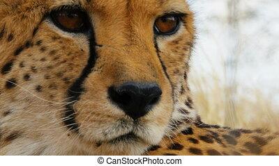 cheetah close up - portrait of cheetah in the bush looking...