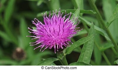 Brown Knapweed Centaurea jacea in bloom
