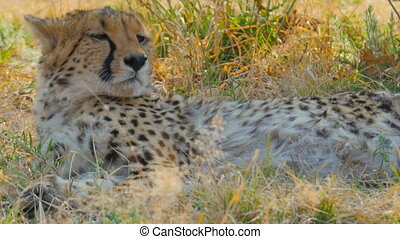 cheetah rests after running - cheetah resting lying in the...