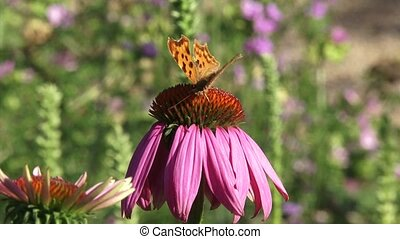 Comma butterfly Polygonia c-album echinacea purpurea - eye...