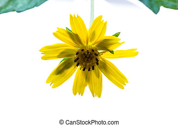 beautiful Singapore daisy flower On a white background