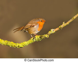 Robin on a branch - Robin perched on a lichen covered branch