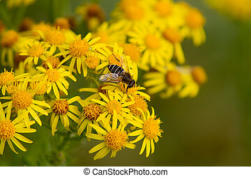 Hoverfly on Wildflower - Hoverfly feeding on yellow...