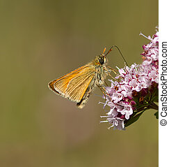 Small Skipper Buttterfly. - A Small Skipper feeding on a...
