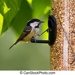 Coal Tit feeding.