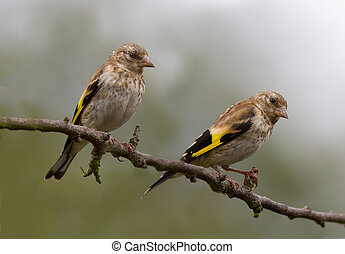Goldfinch (Juvenile) - Two Goldfinch perched on a tree.