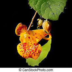 Drops Of Dew on a wildflower. - Jewelweed flower with...