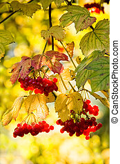 Guelder Rose or snowball tree - Guelder Rose, also called...