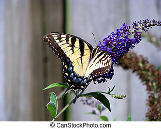 butterfly - beautiful yellow swallowtail butterfly on...
