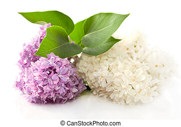 Fragrant lilac flowers - Two fragrant lilac flowers on the...