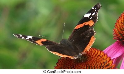 Red Admiral Vanessa Atalanta butterfly feeds on nectar...