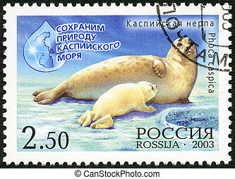RUSSIA - 2003: shows Caspian seal Pusa caspica with the...