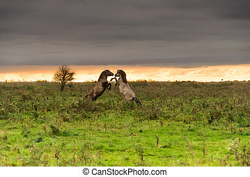 Prancing horses at sunset - Two wild Konik horses prancing...
