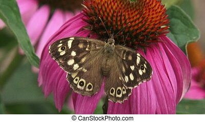 Speckled Wood (pararge aegeria) butterfly feeds on echinacea...