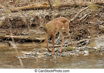 White-tail Deer - Young White-tail Deer In Creek