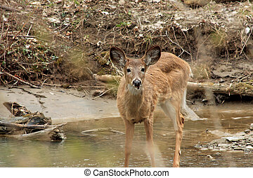 White-tail Deer - Young White-tail Deer Standing In Creek