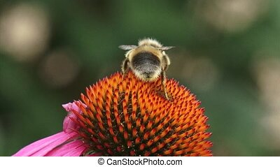 Honey bee feeds on nectar Purple coneflower + departs -...