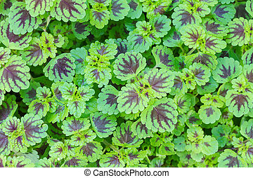 Painted nettle plant