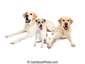Jack Russell Terrier  Dog Sitting With Two Labrador Retriever Do