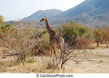 One day of safari in Tanzania - Africa - giraffe - One day...