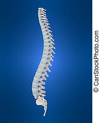 human spine - 3d rendered anatomy illustration of human...