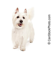 Playful West Highland Terrier Dog Standing - A playful West...