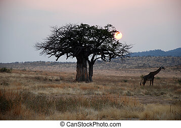 One day safari in Tanzania - Africa - Giraffe at sunset