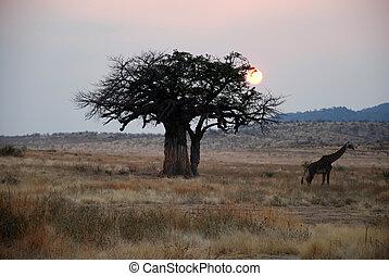 One day safari in Tanzania - Africa - Giraffe at sunset