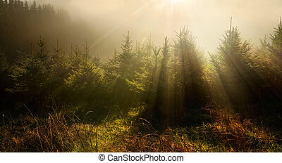 Fir trees in very moody light - Fir trees in fog and dreamy...
