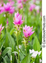 Siam tulip. - Curcuma alismatifolia blossom in Thailand,...