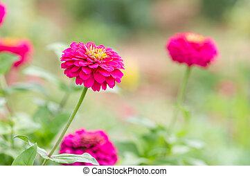 Zinnia elegans flowers - Pink Zinnia elegans flowers in...