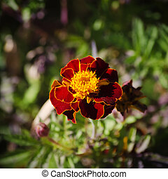 Tagetes Flower - Photo of Tagetes Flower Over Green Natural...