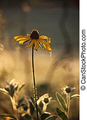 Brown-Eyed Susan Flower in Garden - ~brown-eyed susan~