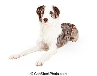Well Trained Border Collie Dog Laying - A well trained...