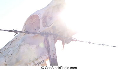 Cow Skull on Fence with Sun Rays - Handheld shot of an old...