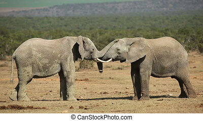 African elephants fighting - African elephant (Loxodonta...