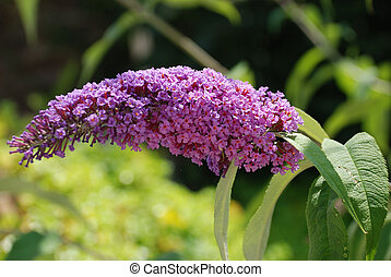 Buddleia flowering bush