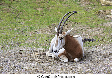 Scimitar horned oryx Oldest zoos in Europe Republic of...