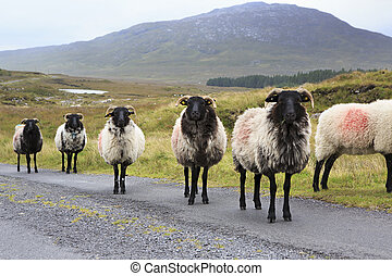 Herd of white sheep with black head on the road Connemara...