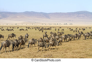 Herds of wildebeests walks in Ngorongoro - Wildebeest...