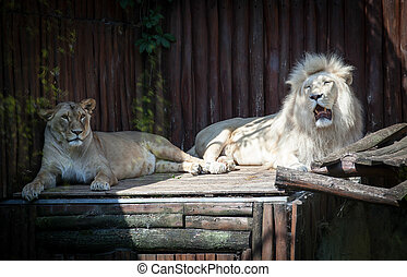 White lion in Zoo